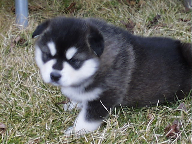 black and white alaskan malamute puppy